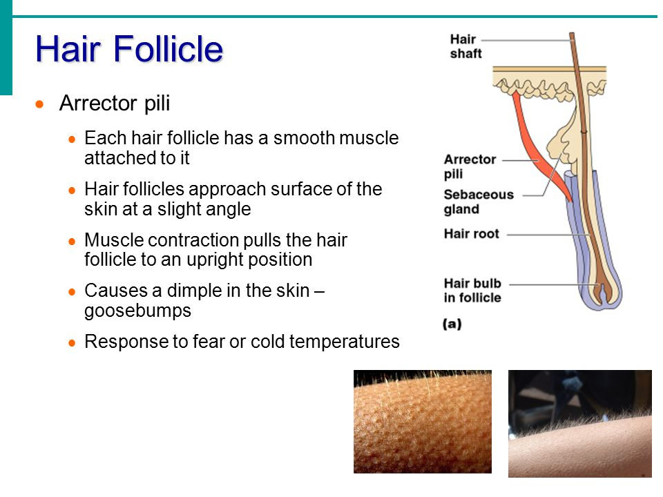 Hair Follicle  Arrector pili  Each hair follicle has a smooth muscle attached to it  Hair follicles approach surface of the skin at a slight angle  Muscle contraction pulls the hair follicle to an upright position  Causes a dimple in the skin – goosebumps  Response to fear or cold temperatures