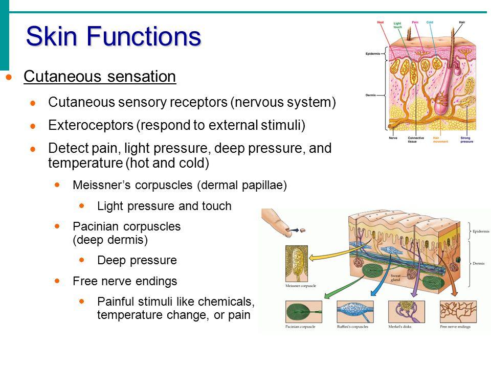 Skin Functions  Cutaneous sensation  Cutaneous sensory receptors (nervous system)  Exteroceptors (respond to external stimuli)  Detect pain, light