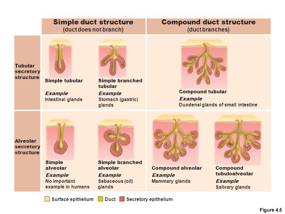 Figure 4.5 Compound duct structure (duct branches) Simple tubular Example Intestinal glands Simple branched tubular Example Stomach (gastric) glands C