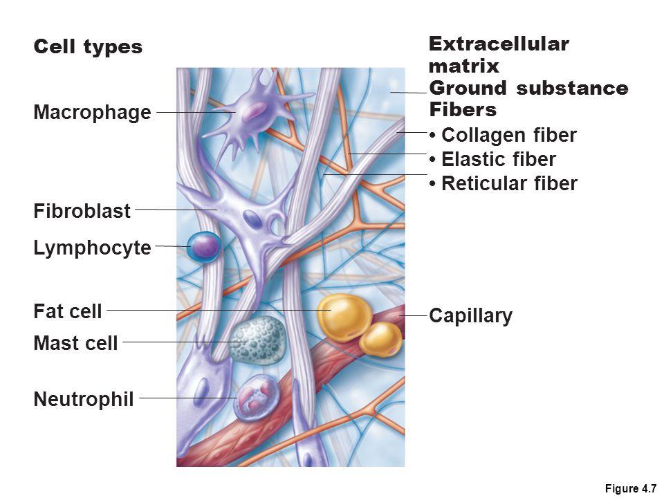 Figure 4.7 Macrophage Fibroblast Lymphocyte Fat cell Mast cell Neutrophil Capillary Cell types Extracellular matrix Fibers Collagen fiber Elastic fibe