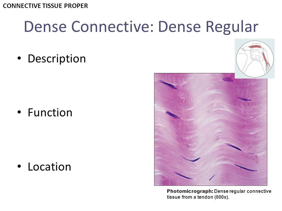 Dense Connective: Dense Regular Description Function Location Photomicrograph: Dense regular connective tissue from a tendon (500x). CONNECTIVE TISSUE