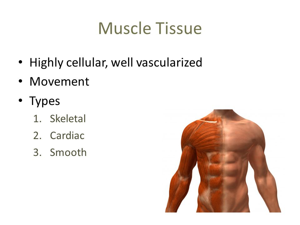 Muscle Tissue Highly cellular, well vascularized Movement Types 1.Skeletal 2.Cardiac 3.Smooth
