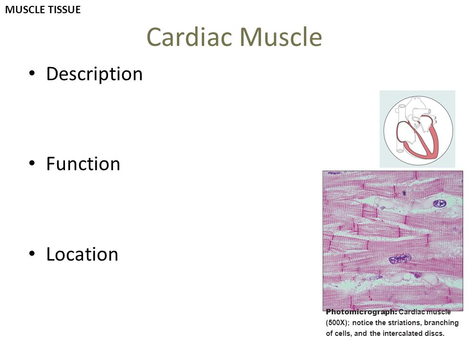 Cardiac Muscle Description Function Location Photomicrograph: Cardiac muscle (500X); notice the striations, branching of cells, and the intercalated d