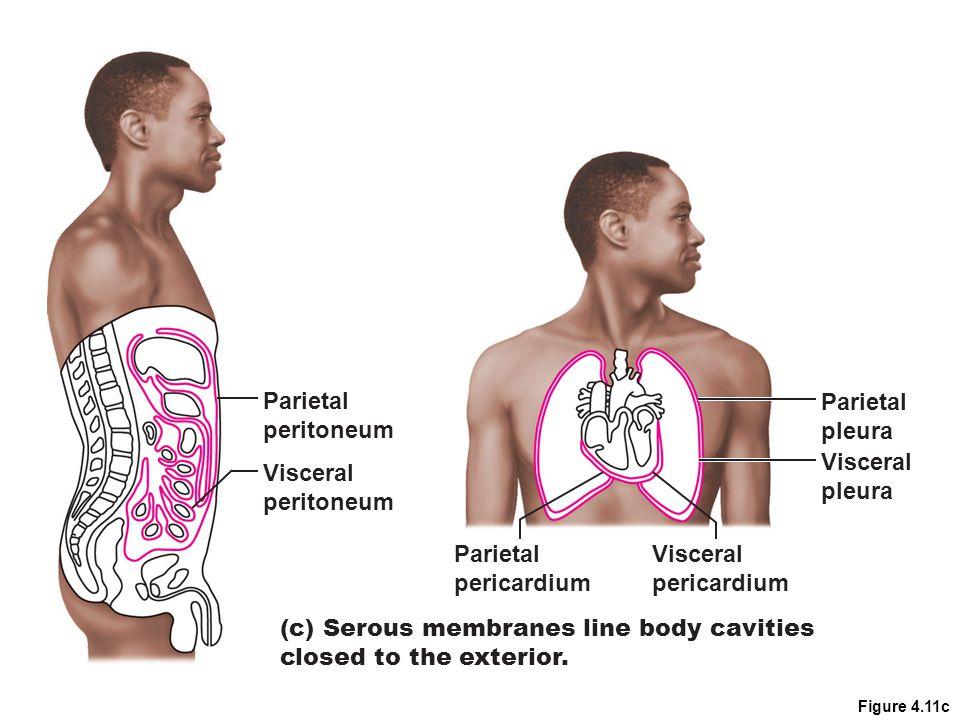 Figure 4.11c Parietal pericardium Visceral pericardium (c) Serous membranes line body cavities closed to the exterior. Parietal peritoneum Visceral pe