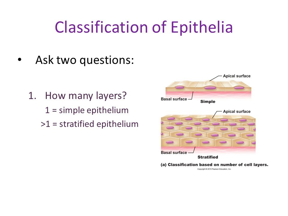 Classification of Epithelia Ask two questions: 1.How many layers? 1 = simple epithelium >1 = stratified epithelium