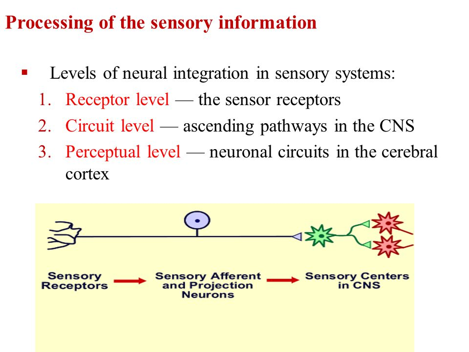 Processing of the sensory information  Levels of neural integration in sensory systems: 1.Receptor level — the sensor receptors 2.Circuit level — asc