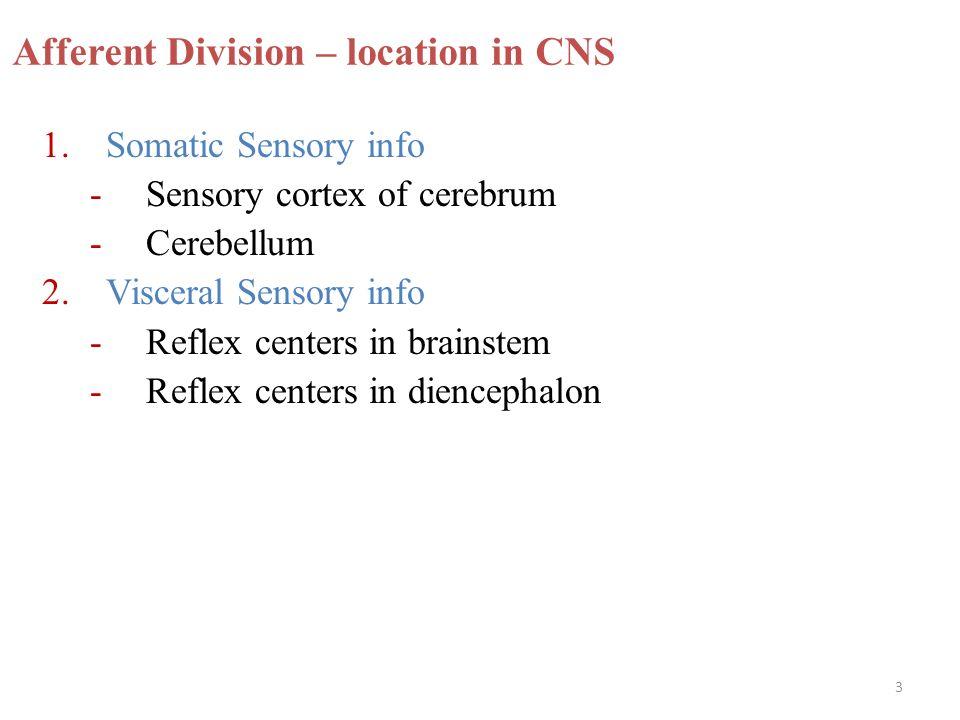 3 Afferent Division – location in CNS 1.Somatic Sensory info -Sensory cortex of cerebrum -Cerebellum 2.Visceral Sensory info -Reflex centers in brains