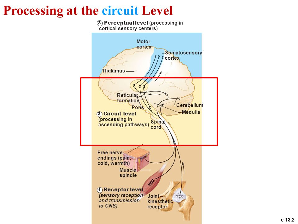 Figure 13.2 1 2 3 Receptor level (sensory reception and transmission to CNS) Circuit level (processing in ascending pathways) Spinal cord Cerebellum R