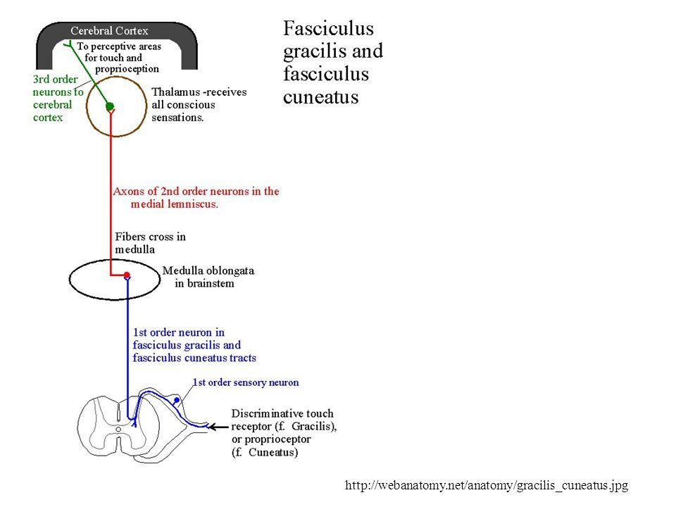 http://webanatomy.net/anatomy/gracilis_cuneatus.jpg