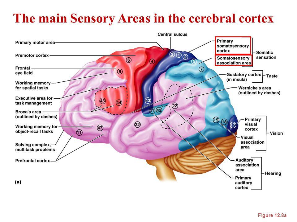 The main Sensory Areas in the cerebral cortex Figure 12.8a