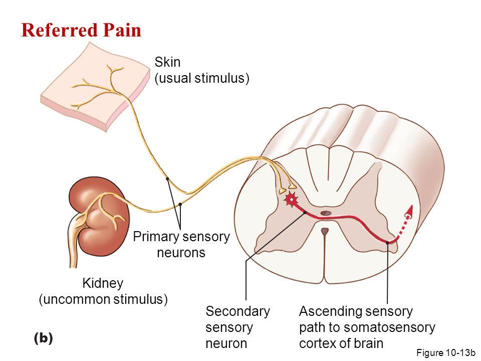 Referred Pain Figure 10-13b Skin (usual stimulus) Kidney (uncommon stimulus) Primary sensory neurons Secondary sensory neuron Ascending sensory path t