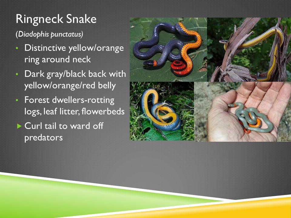 Ringneck Snake (Diadophis punctatus) Distinctive yellow/orange ring around neck Dark gray/black back with yellow/orange/red belly Forest dwellers-rott