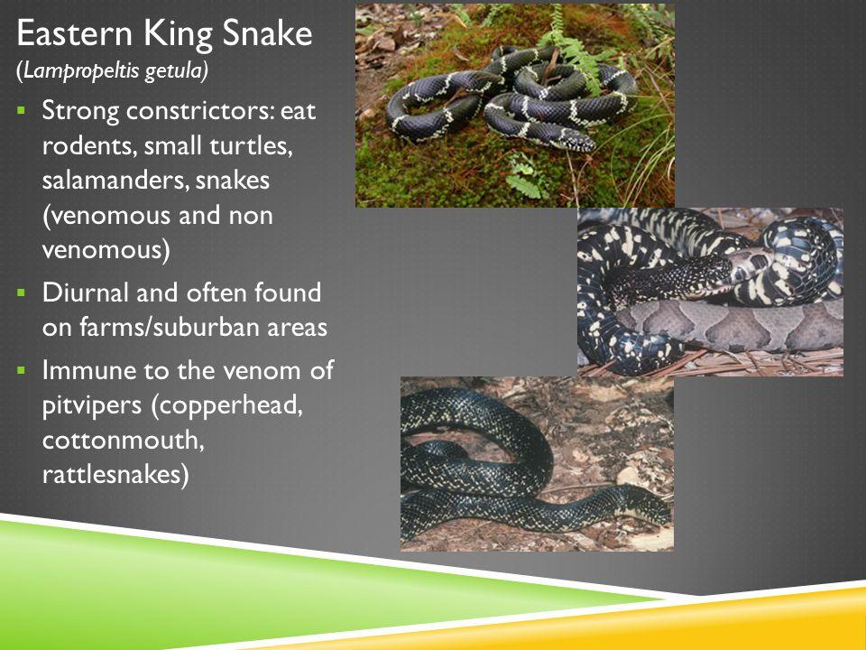 Eastern King Snake (Lampropeltis getula)  Strong constrictors: eat rodents, small turtles, salamanders, snakes (venomous and non venomous)  Diurnal