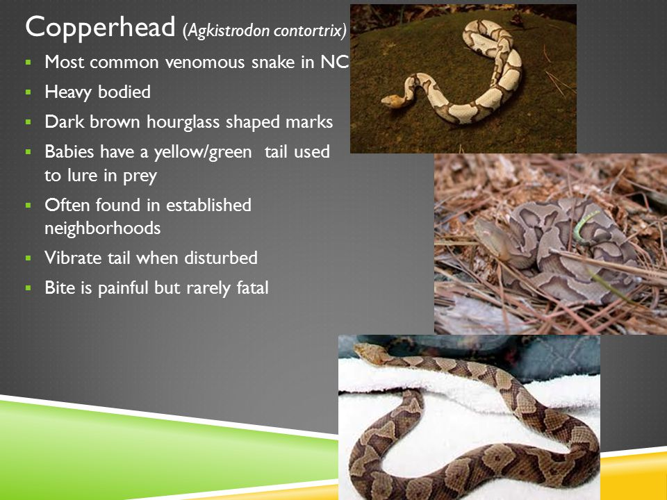 Worm Snake (Carphophis amoenus) Pinkish/whitish bellies that extends partially up sides Sharp points on tail Small head for burrowing after insects/earthworms Most active at night-found in rotting logs but may burrow deep into the soil during dry spells Never bite but wiggle a TON