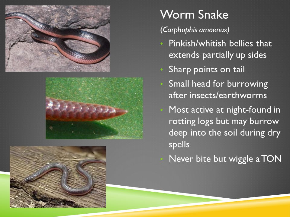 Worm Snake (Carphophis amoenus) Pinkish/whitish bellies that extends partially up sides Sharp points on tail Small head for burrowing after insects/ea