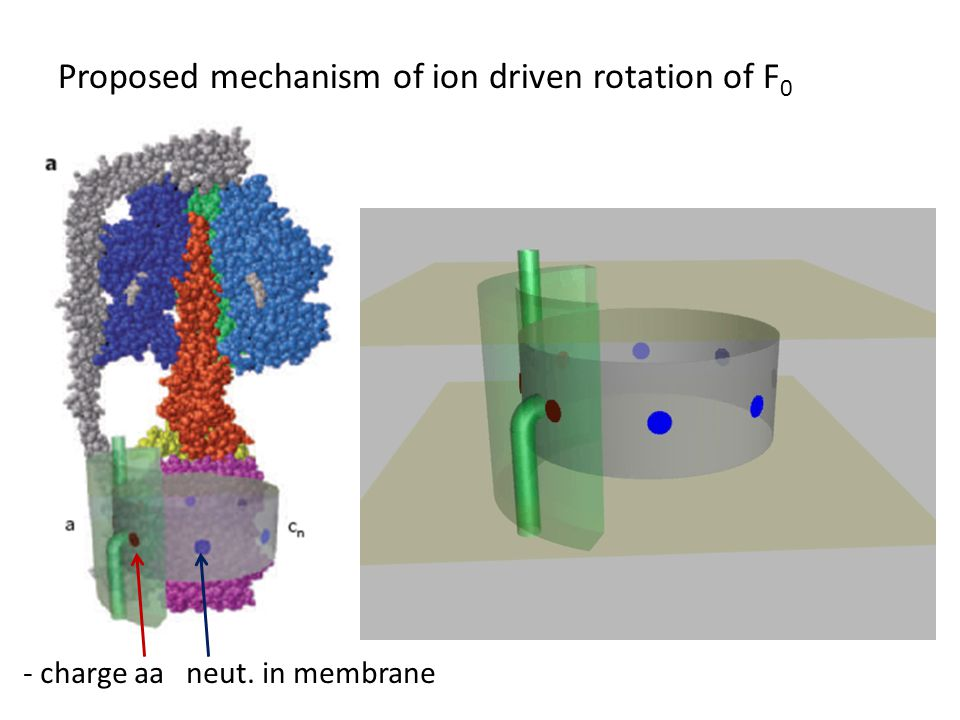 Proposed mechanism of ion driven rotation of F 0 - charge aa neut. in membrane