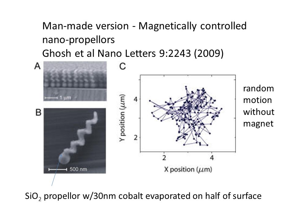 Man-made version - Magnetically controlled nano-propellors Ghosh et al Nano Letters 9:2243 (2009) SiO 2 propellor w/30nm cobalt evaporated on half of surface random motion without magnet
