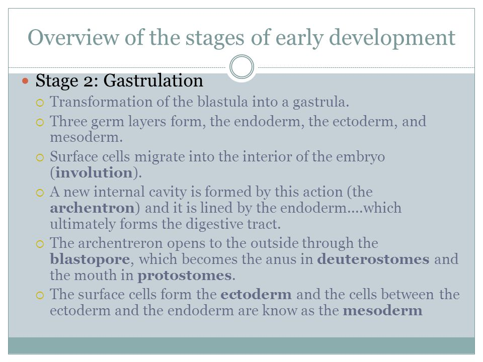 Overview of the stages of early development Stage 2: Gastrulation  Transformation of the blastula into a gastrula.  Three germ layers form, the endo