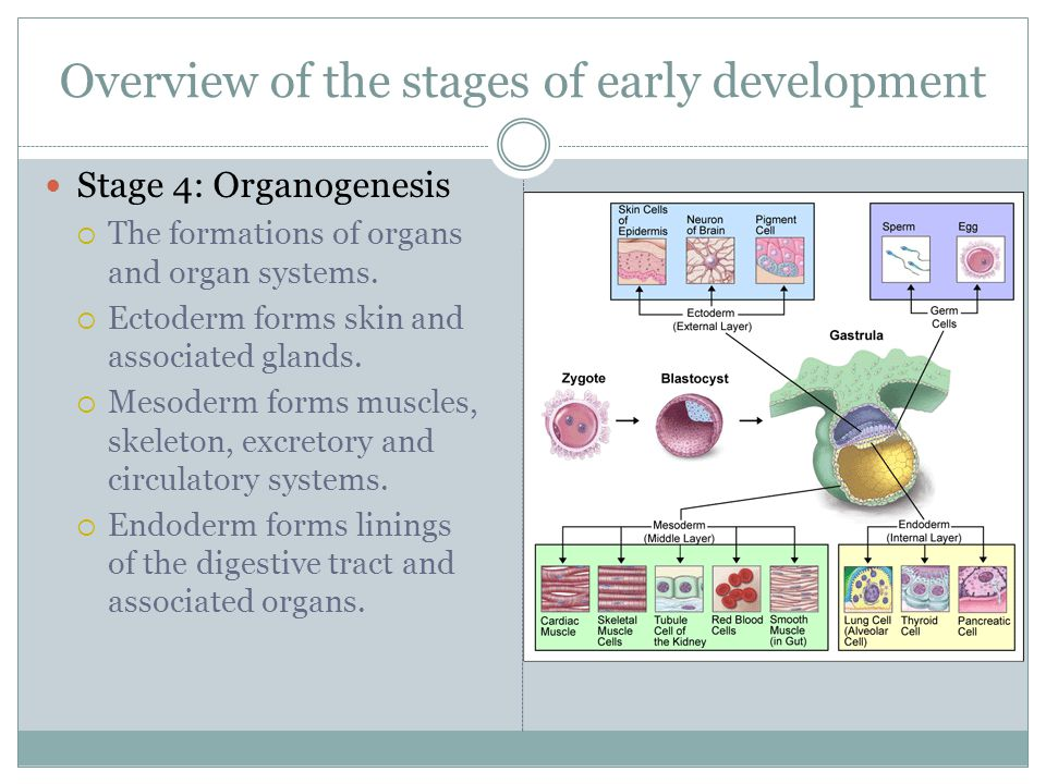 Overview of the stages of early development Stage 4: Organogenesis  The formations of organs and organ systems.  Ectoderm forms skin and associated