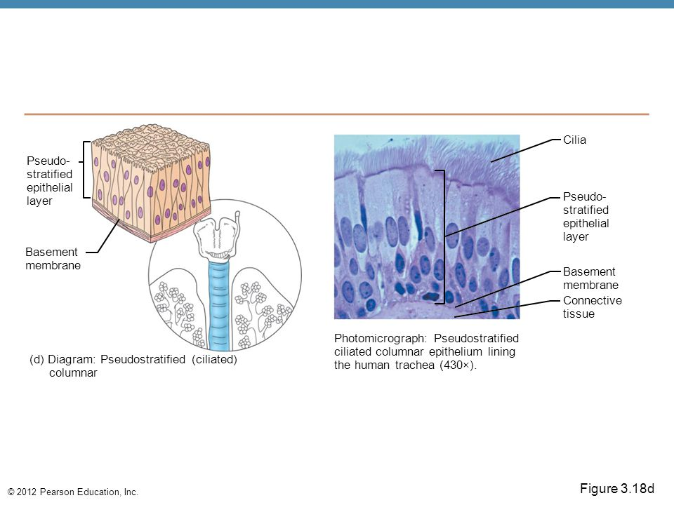 © 2012 Pearson Education, Inc. Figure 3.18d Pseudo- stratified epithelial layer Basement membrane (d) Diagram: Pseudostratified (ciliated) columnar Ph
