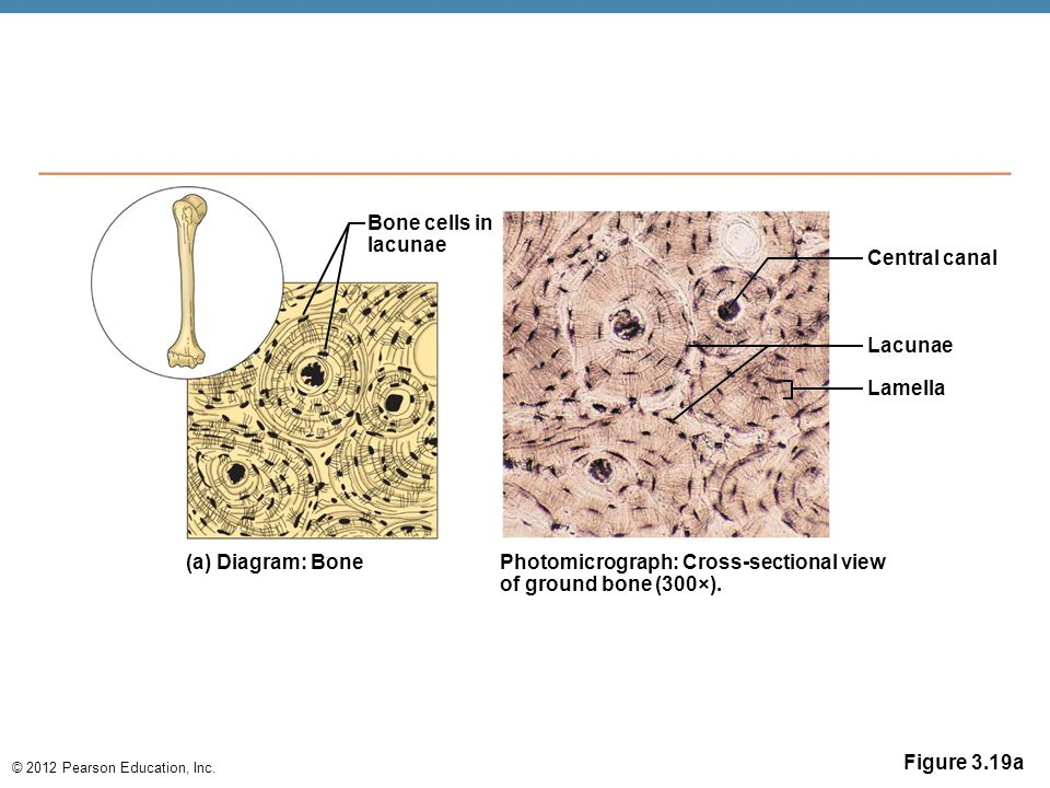 © 2012 Pearson Education, Inc. Figure 3.19a Bone cells in lacunae (a) Diagram: Bone Photomicrograph: Cross-sectional view of ground bone (300×). Lamel