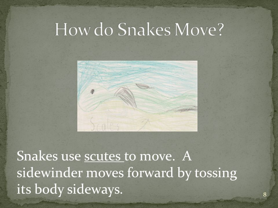 Snakes use scutes to move. A sidewinder moves forward by tossing its body sideways. 8