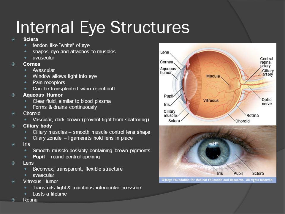 Internal Eye Structures  Sclera tendon like white of eye shapes eye and attaches to muscles avascular  Cornea Avascular Window allows light into eye Pain receptors Can be transplanted w/no rejection!.