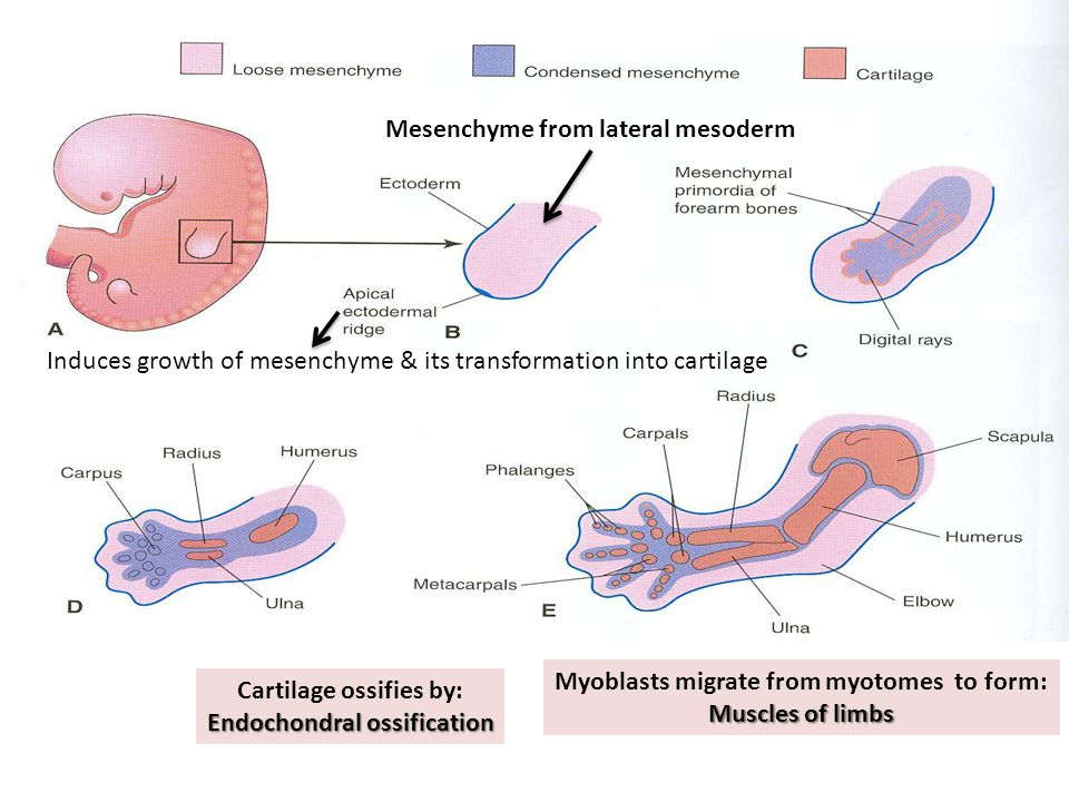 Mesenchyme from lateral mesoderm Induces growth of mesenchyme & its transformation into cartilage Cartilage ossifies by: Endochondral ossification Myoblasts migrate from myotomes to form: Muscles of limbs