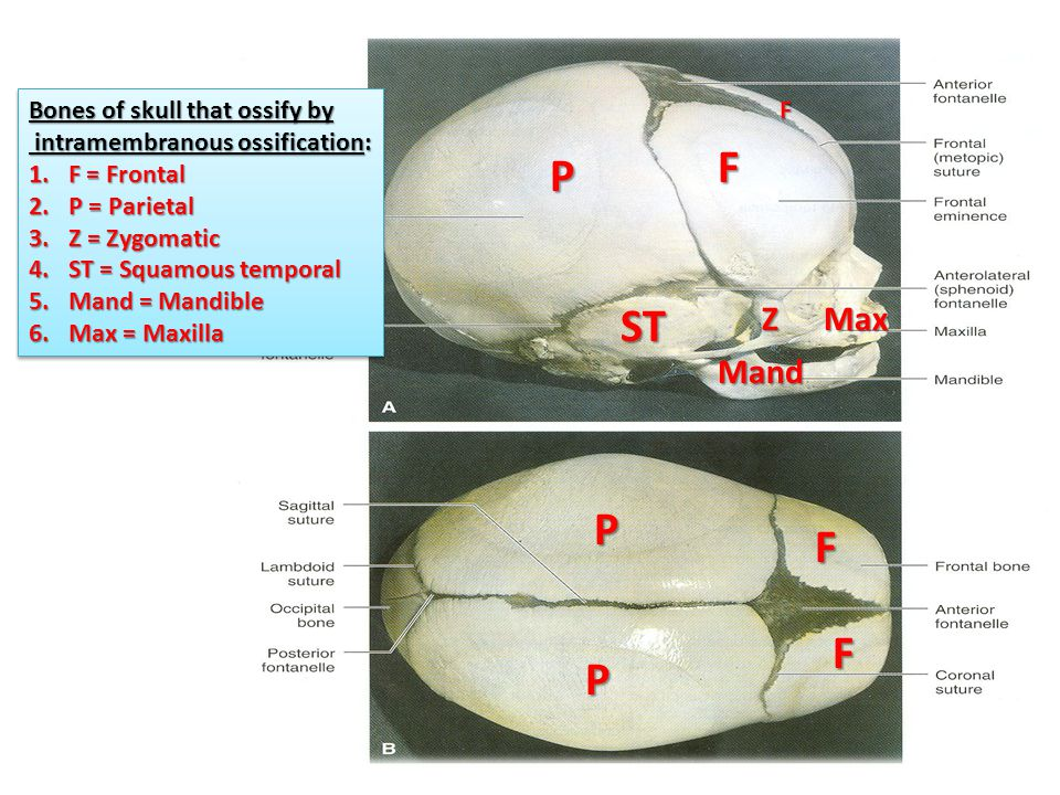 F P STZMax Mand F F F P P Bones of skull that ossify by intramembranous ossification: intramembranous ossification: 1.F = Frontal 2.P = Parietal 3.Z = Zygomatic 4.ST = Squamous temporal 5.Mand = Mandible 6.Max = Maxilla Bones of skull that ossify by intramembranous ossification: intramembranous ossification: 1.F = Frontal 2.P = Parietal 3.Z = Zygomatic 4.ST = Squamous temporal 5.Mand = Mandible 6.Max = Maxilla