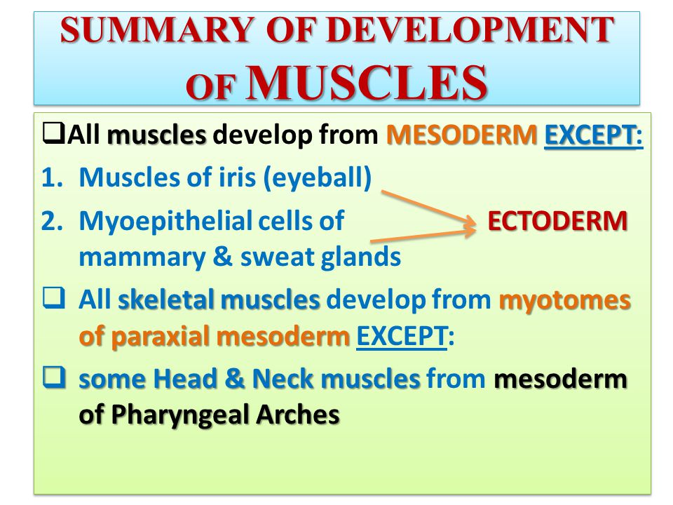 SUMMARY OF DEVELOPMENT OF MUSCLES musclesMESODERMEXCEPT  All muscles develop from MESODERM EXCEPT: 1.Muscles of iris (eyeball) ECTODERM 2.Myoepithelial cells of ECTODERM mammary & sweat glands skeletal muscles myotomes of paraxial mesoderm  All skeletal muscles develop from myotomes of paraxial mesoderm EXCEPT:  some Head & Neck muscles mesoderm of Pharyngeal Arches  some Head & Neck muscles from mesoderm of Pharyngeal Arches musclesMESODERMEXCEPT  All muscles develop from MESODERM EXCEPT: 1.Muscles of iris (eyeball) ECTODERM 2.Myoepithelial cells of ECTODERM mammary & sweat glands skeletal muscles myotomes of paraxial mesoderm  All skeletal muscles develop from myotomes of paraxial mesoderm EXCEPT:  some Head & Neck muscles mesoderm of Pharyngeal Arches  some Head & Neck muscles from mesoderm of Pharyngeal Arches