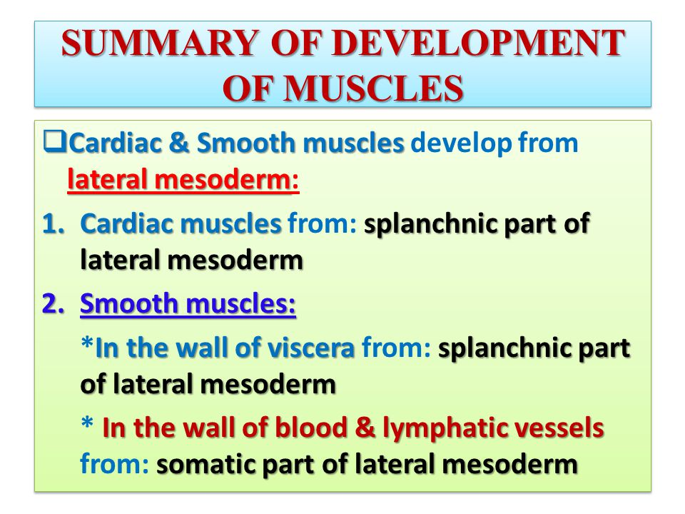 SUMMARY OF DEVELOPMENT OF MUSCLES  Cardiac & Smooth muscles lateral mesoderm  Cardiac & Smooth muscles develop from lateral mesoderm: 1.Cardiac muscles splanchnic part of lateral mesoderm 1.Cardiac muscles from: splanchnic part of lateral mesoderm 2.Smooth muscles: In the wall of viscera splanchnic part of lateral mesoderm *In the wall of viscera from: splanchnic part of lateral mesoderm In the wall of blood & lymphatic vessels somatic part of lateral mesoderm * In the wall of blood & lymphatic vessels from: somatic part of lateral mesoderm  Cardiac & Smooth muscles lateral mesoderm  Cardiac & Smooth muscles develop from lateral mesoderm: 1.Cardiac muscles splanchnic part of lateral mesoderm 1.Cardiac muscles from: splanchnic part of lateral mesoderm 2.Smooth muscles: In the wall of viscera splanchnic part of lateral mesoderm *In the wall of viscera from: splanchnic part of lateral mesoderm In the wall of blood & lymphatic vessels somatic part of lateral mesoderm * In the wall of blood & lymphatic vessels from: somatic part of lateral mesoderm