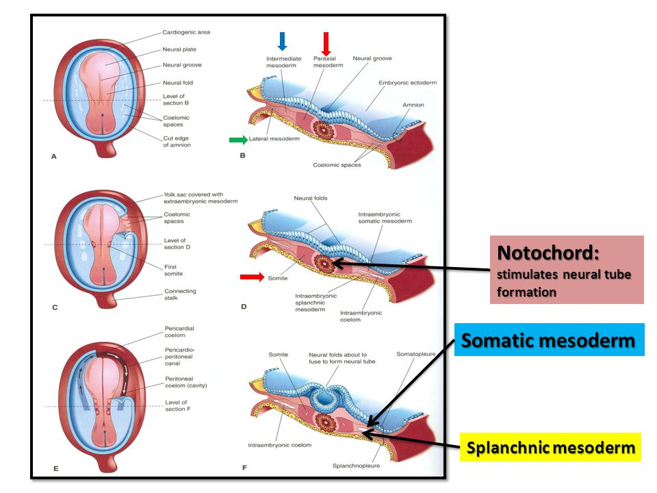 Notochord: stimulates neural tube formation Somatic mesoderm Splanchnic mesoderm