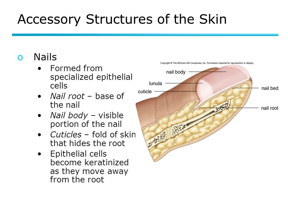 Accessory Structures of the Skin oNails Formed from specialized epithelial cells Nail root – base of the nail Nail body – visible portion of the nail