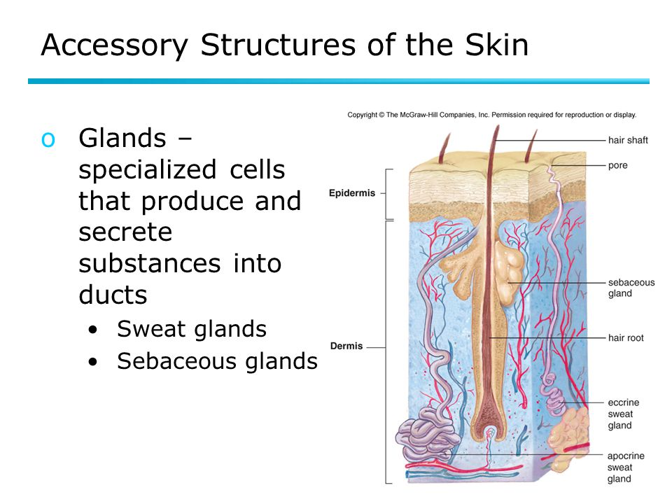 Accessory Structures of the Skin oGlands – specialized cells that produce and secrete substances into ducts Sweat glands Sebaceous glands