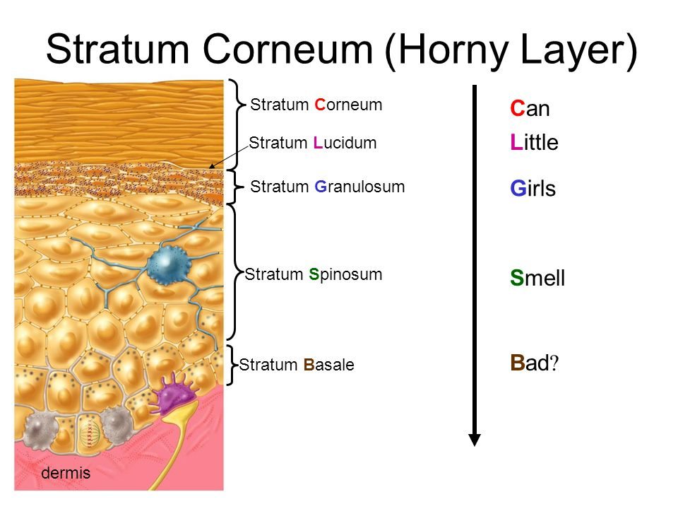 Stratum Corneum (Horny Layer) dermis Stratum Basale Stratum Corneum Stratum Granulosum Stratum Lucidum Stratum Spinosum Can Little Girls Smell Bad ?