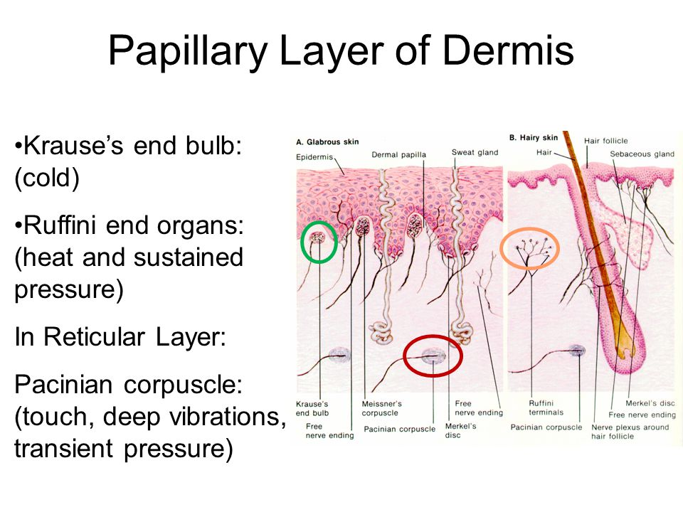 Papillary Layer of Dermis Krause's end bulb: (cold) Ruffini end organs: (heat and sustained pressure) In Reticular Layer: Pacinian corpuscle: (touch, deep vibrations, transient pressure)
