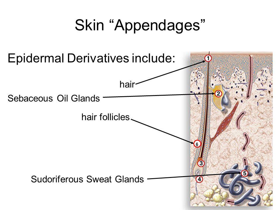 Skin Appendages Epidermal Derivatives include: 6 hair hair follicles Sebaceous Oil Glands Sudoriferous Sweat Glands