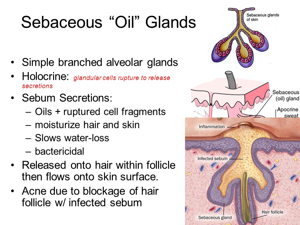 Sebaceous Oil Glands Simple branched alveolar glands Holocrine: glandular cells rupture to release secretions Sebum Secretions : –Oils + ruptured cell fragments –moisturize hair and skin –Slows water-loss –bactericidal Released onto hair within follicle then flows onto skin surface.