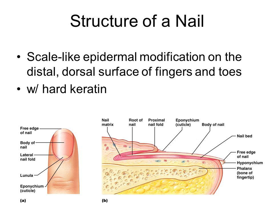 Structure of a Nail Scale-like epidermal modification on the distal, dorsal surface of fingers and toes w/ hard keratin Figure 5.6