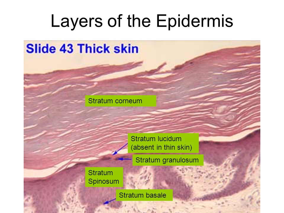 Layers of the Epidermis Stratum basale Stratum Spinosum Stratum granulosum Stratum lucidum (absent in thin skin) Stratum corneum