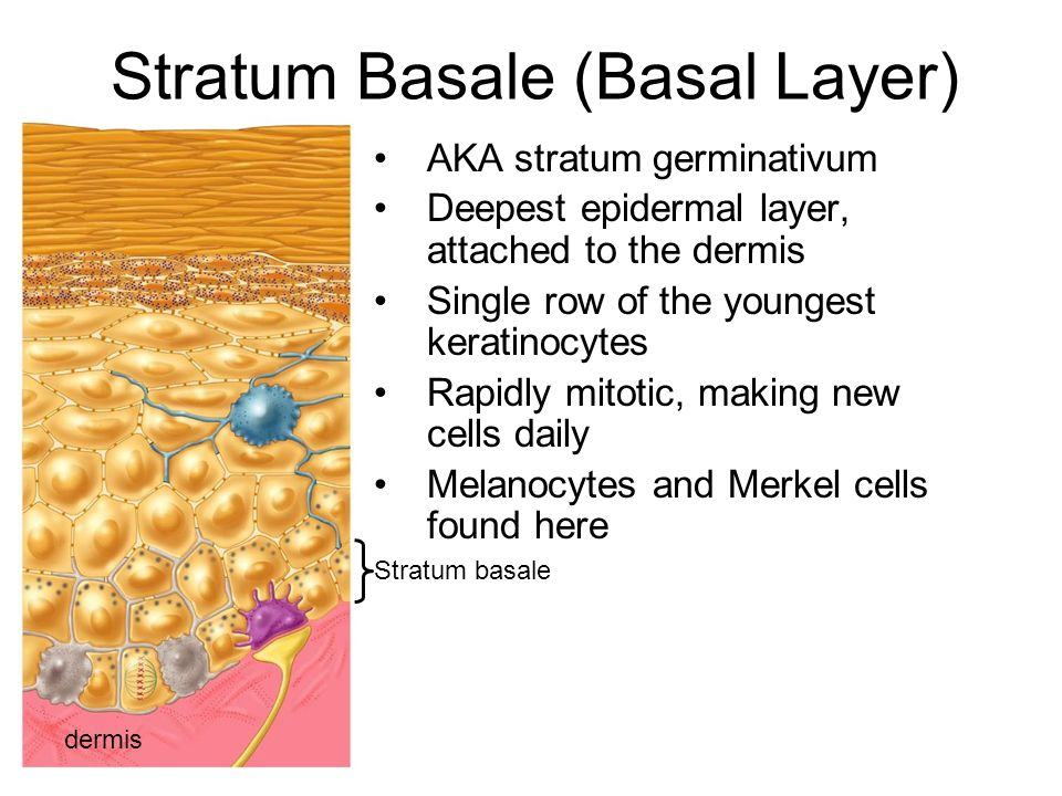 Stratum Basale (Basal Layer) AKA stratum germinativum Deepest epidermal layer, attached to the dermis Single row of the youngest keratinocytes Rapidly mitotic, making new cells daily Melanocytes and Merkel cells found here dermis Stratum basale