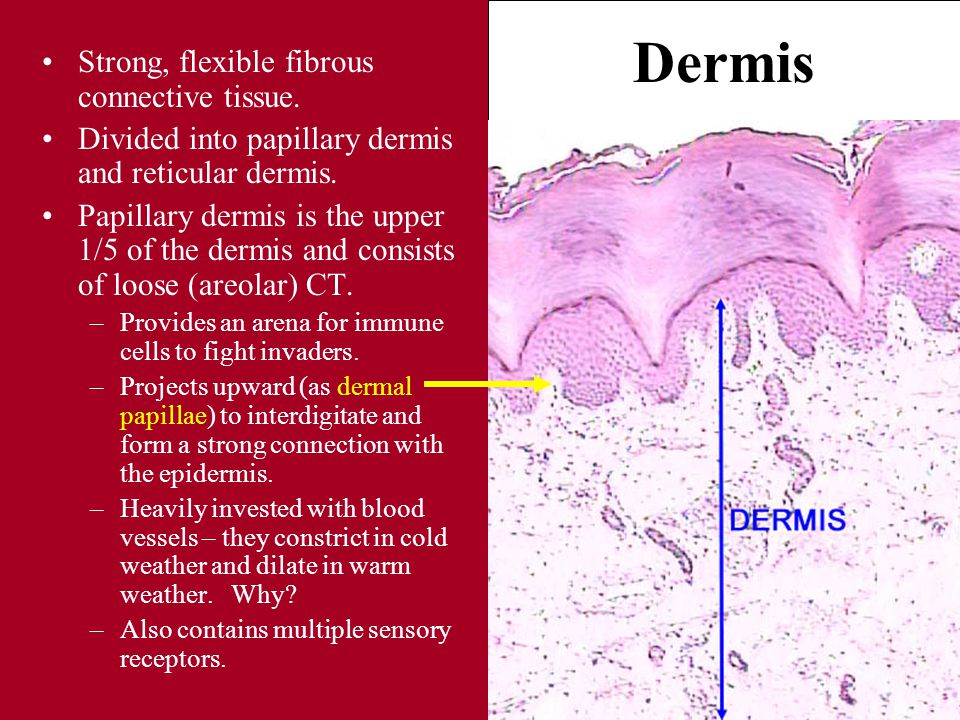 Dermis Strong, flexible fibrous connective tissue.