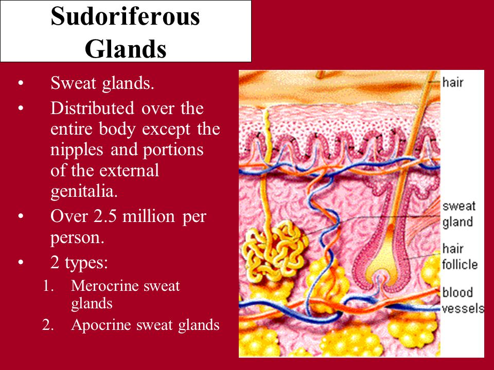 Sudoriferous Glands Sweat glands.