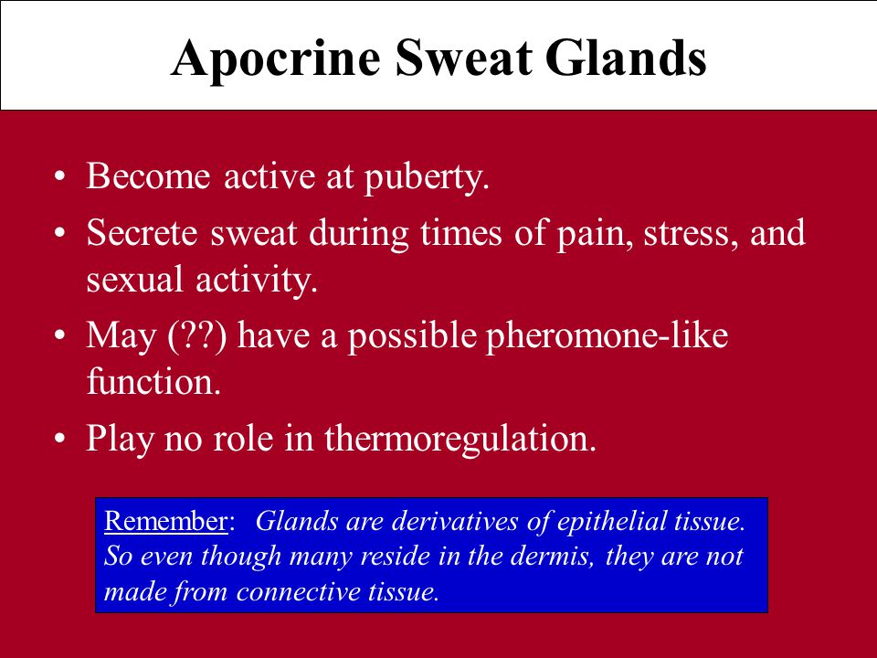 Apocrine Sweat Glands Become active at puberty.