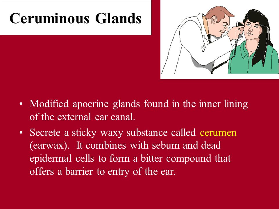 Ceruminous Glands Modified apocrine glands found in the inner lining of the external ear canal.