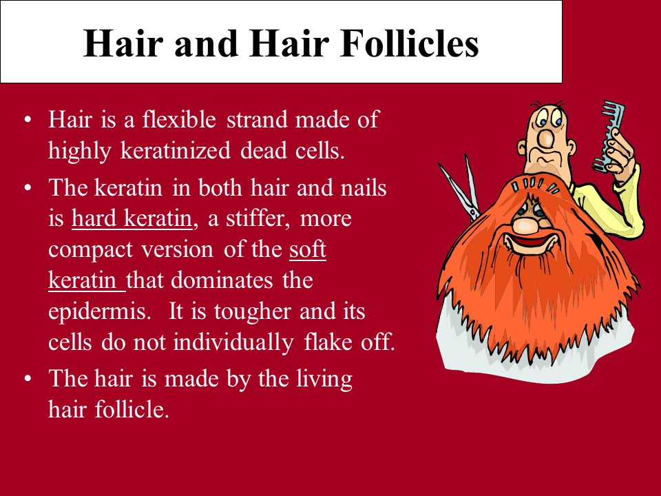 Hair and Hair Follicles Hair is a flexible strand made of highly keratinized dead cells.
