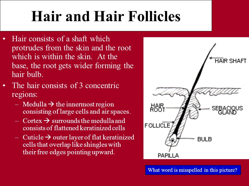 Hair and Hair Follicles Hair consists of a shaft which protrudes from the skin and the root which is within the skin.