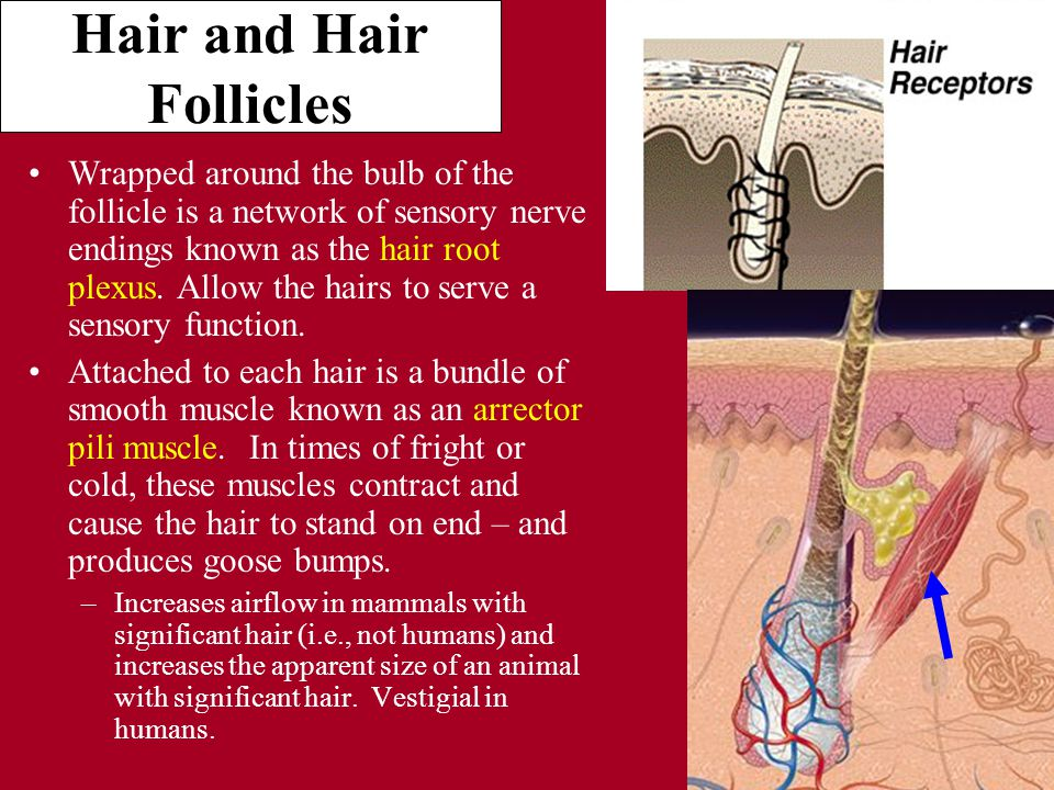 Hair and Hair Follicles Wrapped around the bulb of the follicle is a network of sensory nerve endings known as the hair root plexus.