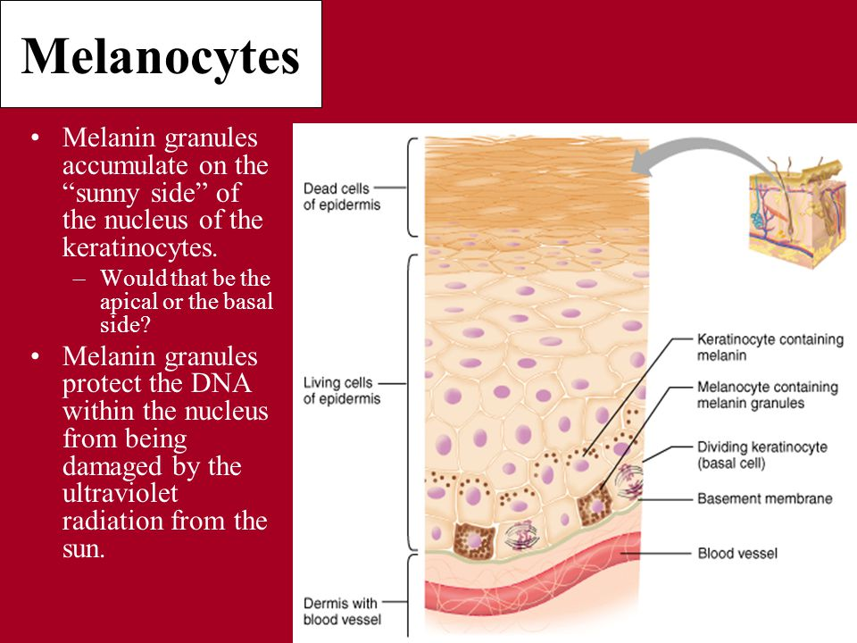 Melanocytes Melanin granules accumulate on the sunny side of the nucleus of the keratinocytes.
