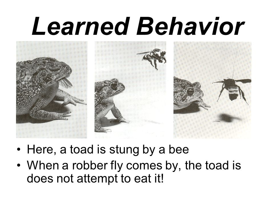 Learned Behavior Here, a toad is stung by a bee When a robber fly comes by, the toad is does not attempt to eat it!